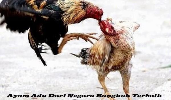 Ayam Adu Dari Negara Bangkok Terbaik